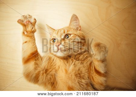 Red cat raised paws up portrait close-up on wooden rufous background. Ginger pet with carroty eyes and watchful ears in relaxing funny posture.Cute kitten lying on his back