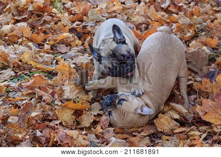 Two french bulldogs are frolicking in the autumn park. Pet animals.