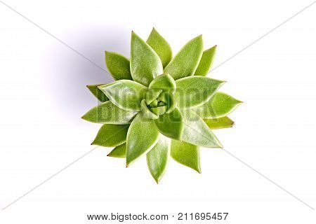 Succulent plant isolated on a white background. Top view