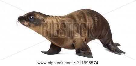 Young California Sea Lion, Zalophus californianus, walking, 3 months old against white background