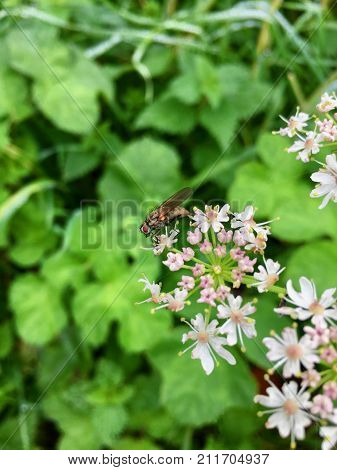 House fly (Musca domestica) on a blooming flower head in nature