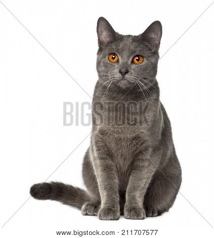 Chartreux cat, 9 months old, sitting against white background