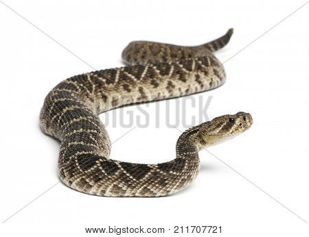 eastern diamondback rattlesnake - Crotalus adamanteus , poisonous snake, white background poster