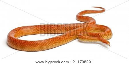 Albinos mothley Corn Snake or Red Rat Snake, Pantherophis guttatus, in front of white background