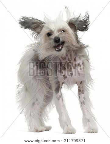 Chinese Crested Dog with windblown hair, 11 months old, standing in front of white background