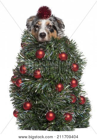 Australian Shepherd dog dressed as Christmas tree, 7 months old, in front of white background