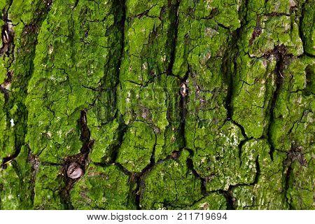 Green moss covers an oak tree's bark, close up macro photo