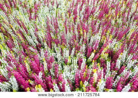 Calluna Vulgaris plants in an De Bosrand garden center in Alphen aan den Rijn Netherlands.