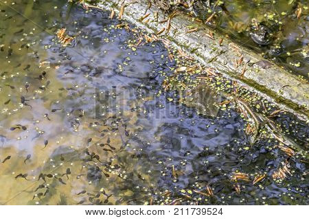 high angle view showing lots of tadpoles in natural ambiance