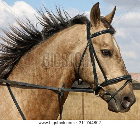 Portrait of a bridled buckskin gelding being ridden
