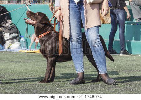 Chocolate Labrador Retriever prepares for the performance. Tashkent Uzbekistan. International Dog Show Oltin It October 15 2017