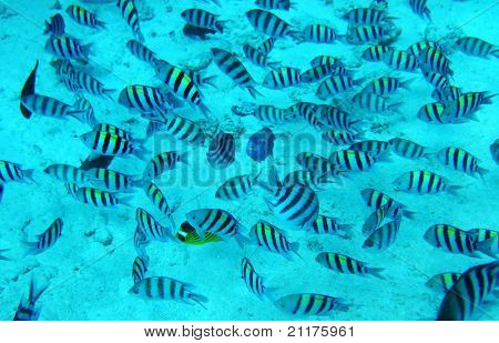 Group of coral fish in blue water.Red sea. Egypt. poster
