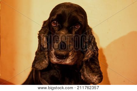 Portrait of cute black cocker spaniel.Cocker spaniel in close