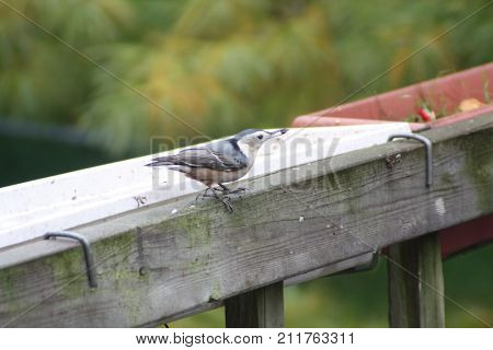 White-breasted nuthatch on porch wooden railing. (Sitta carolinensis).
