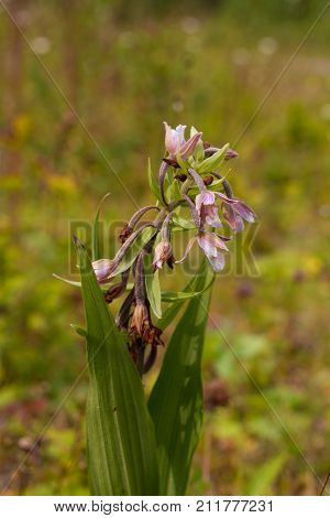 Marsh Helleborine flower in a field. . Marsh Epipactis palustrisis an orchid native to Europe
