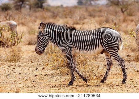 Grevys zebras in Samburu national reserve in Kenya