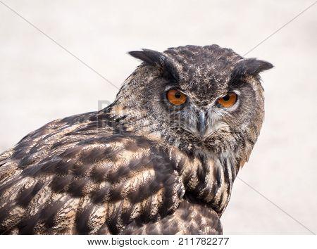 Portrait of an Eurasian Eagle Owl or Bubo bubo
