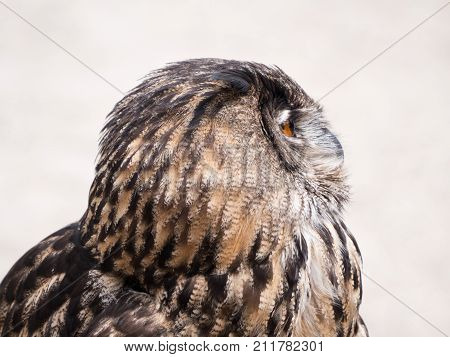 Sideview of an Eurasian Eagle Owl or Bubo bubo