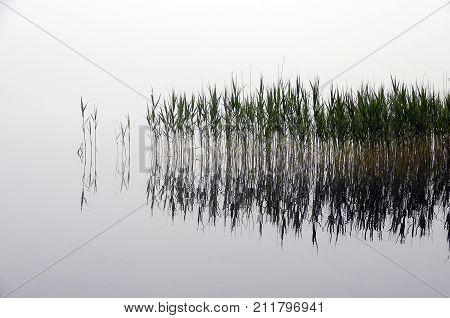 Reeds Bed And Fog, In Water