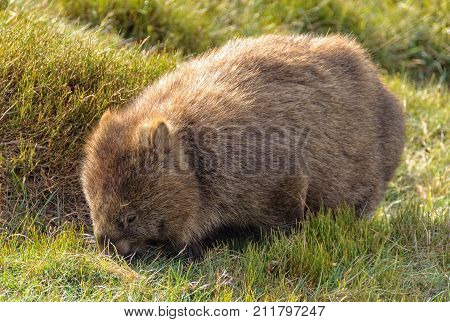 The wombat is the largest burrowing mammal - Cradle Mountain, Tasmania, Australia