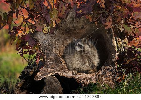 Raccoon (Procyon lotor) Looks Left While Holding Snack - captive animal