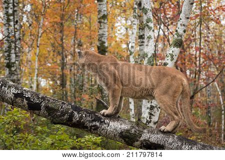 Adult Male Cougar (Puma concolor) on Tree Looks Away - captive animal