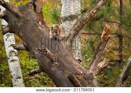 Female Cougar Kitten (Puma concolor) Nearly Hidden in Tree - captive animal