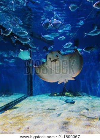 Marine attraction. Electric Stingray. Exposition of the famous aquarium of Barcelona poster
