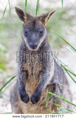 Closeup of Pademelon - native Australian marsupial