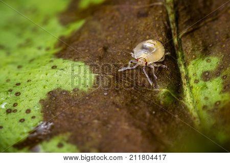 Spotted Spider Mite