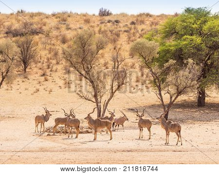 A bachelor herd of kudu and a gemsbok at a waterhole in the Kgalagadi Transfrontier Park situated in the Kalahari Desert which straddles South Africa and Botswana.