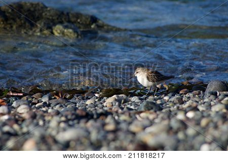 A Western Sandpiper at water's edge on a gravel beach in Nuchatlitz. Evening light illuminates the bird.