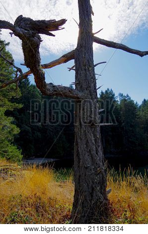 A Douglas Fir snag stands against the bright sky on a dry grass covered bluff on Portland Island in the Gulf Islands of British Columbia.