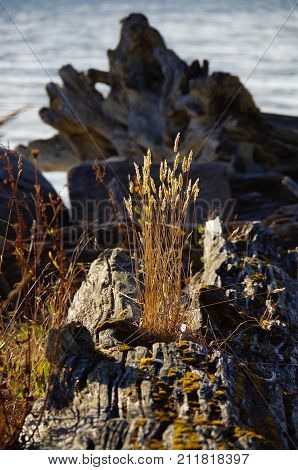 A tuft of tall dry grass emerges from an old weathered driftwood log on the beach on Portland Island the Gulf Islands British Columbia. The sunlit grass contrasts with the out of focus shadowed driftwood in the background.