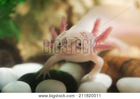 portrait of a funny axolotl in an aquarium