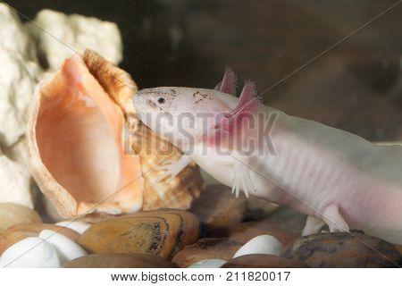 portrait of an axolotl in an aquarium closeup