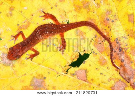 Eastern Newt (Notophthalmus viridescens) inhabiting the Shawnee National Forest in Illinois