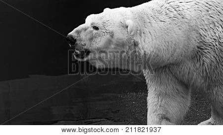 Black And White Portrait Of An Adult Polar Bear (ursus Maritimus) Against Water Background
