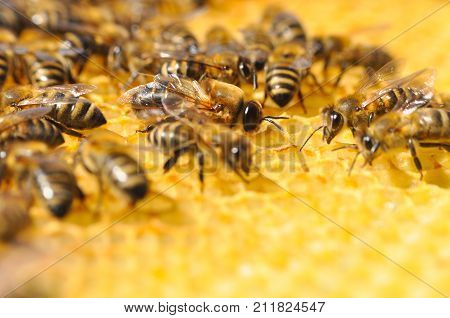 Big drone bee in honeycomb. Drone bee or male bee with bee worker