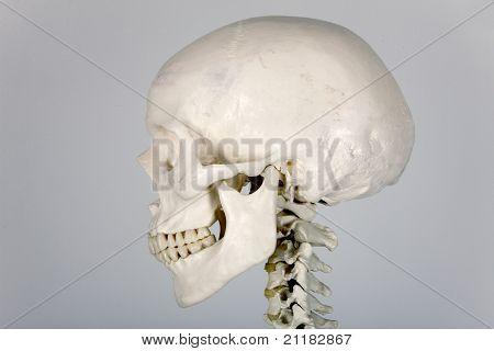 skull profile
