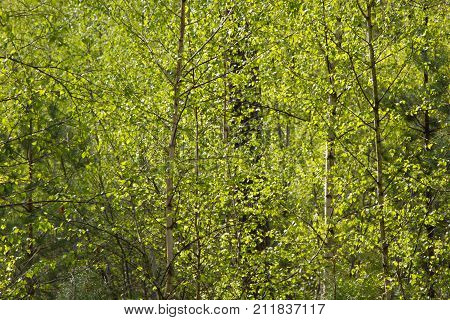 View of forrest of birch and green pine trees on a sunny summer day with a bright blue sky. Birch grove on the border with Belarus and Russia. Located in Ukraine, Sumy region, Polissya