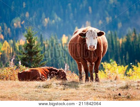 This cow is fattened from the lush enviroment of Alberta