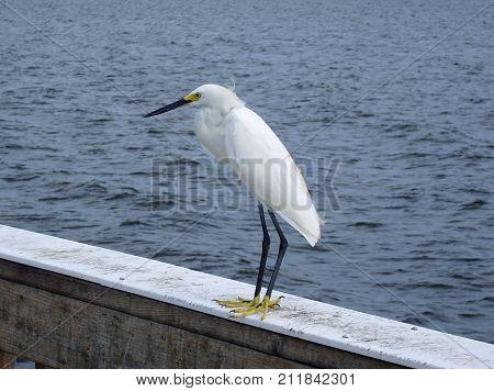 Little Egret (Egretta garzetta) standing on a palisade