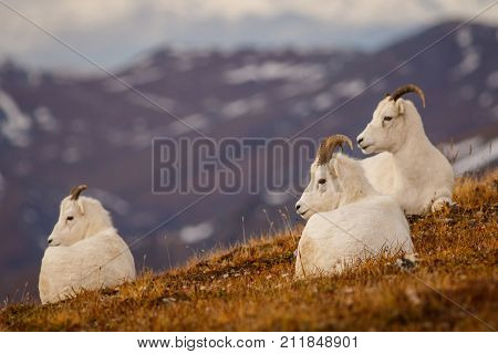 Protected Dall sheeps in backcountry of Denali NP, Alaska, US