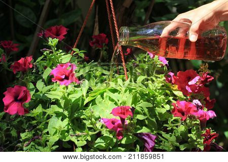 Female hand pours petunias in a pot with fertilizer prepared at home. Organic liquid fertilizer. Nutrition of indoor plants. Woman watering plant with watering glass bottle