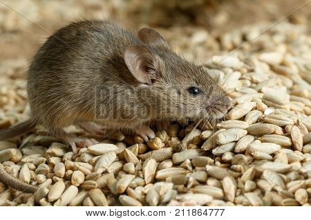 Closeup small vole mouse lurking on pile of grain of rye in warehouse. Concept of pest control.
