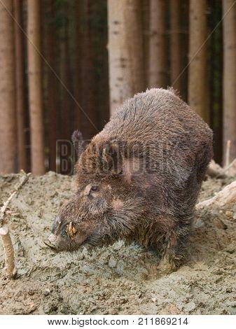 Sus scrofa - Wild boar on mud bath in forest