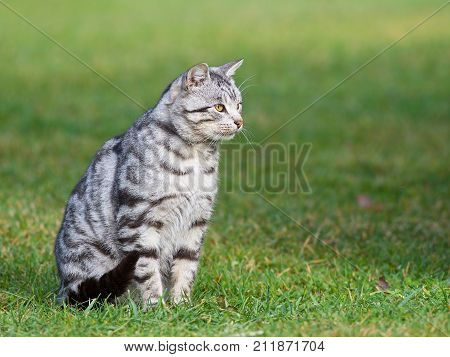 Grey cat sitting on a grass in blurry background. One alone grey big cat sitting and looking in open air in green background in the village, cat outside