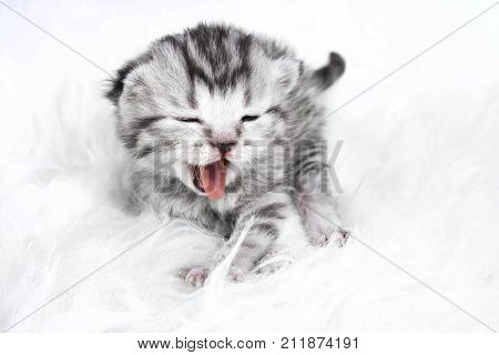 The kitten yawns. Striped kitten baby on white background