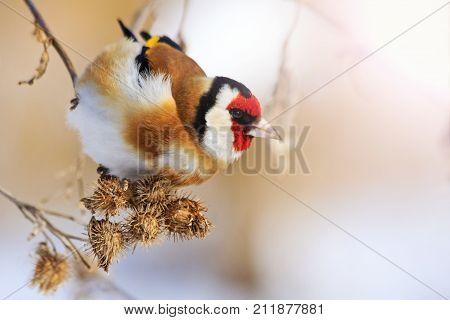 goldfinch eat burdock seeds on a winter sunny day , wildlife, winter survival, cold and frost